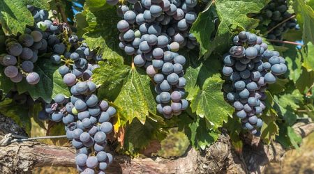 grapes-1618308_640