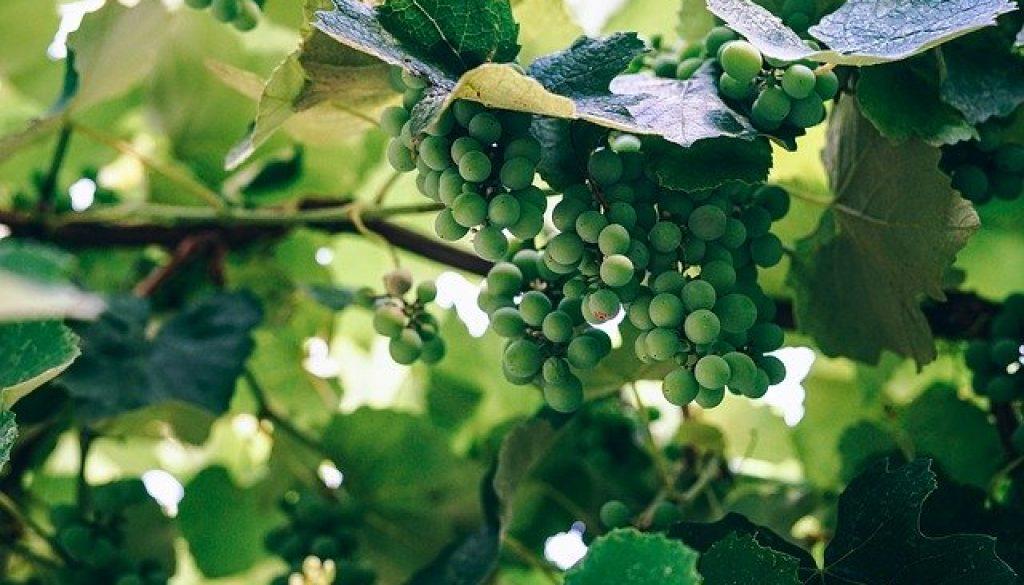 grapes-2664482_640
